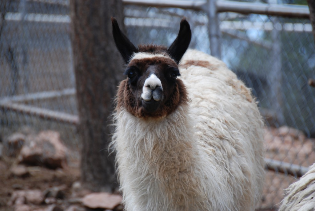 Photo of Llama