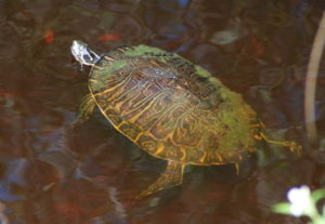 Photo of the turtle of mediocrity