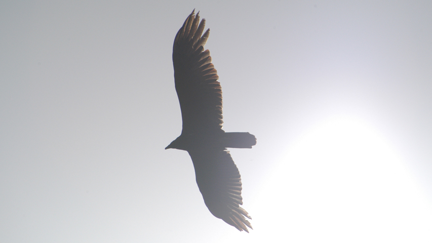 Photo of soaring bird.
