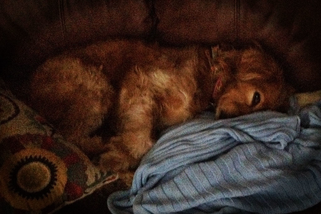 Photo of dog snuggled in blankets